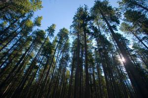 Lodgepole Pines Photo credit: Ryan Goolevitch