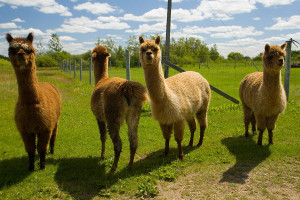Alpacas Photo credit: Ryan Goolevitch